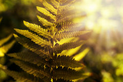 Fern leaf in backlit by the morning sunlight Royalty Free Stock Photo