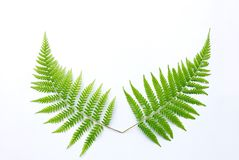 Fern leaf. Beautiful fern leaf white background Royalty Free Stock Image