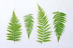 Fern leaf. Beautiful fern leaf white background Stock Images