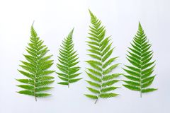 Fern leaf. Beautiful fern leaf white background Royalty Free Stock Photography