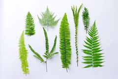 Fern leaf. Beautiful fern leaf white background Stock Photo
