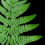 Fern Leaf on Black Background stock images