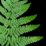 Fern Leaf on Black Background stock images