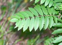 Fern leaf   close-up Royalty Free Stock Image