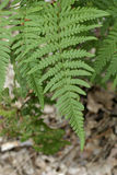 Fern leaf with close-up Royalty Free Stock Photo