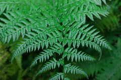 Fern leaf close-up Stock Image