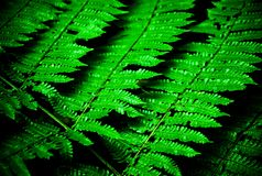 Fern leaf. Close up of fern leaf showing intricate pattern of leaf taken in Costa Rica cloud forrest Royalty Free Stock Image