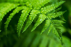 Fern leaf close-up Stock Photography