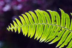 Fern leaf close-up Royalty Free Stock Image