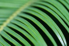 Fern leaf closeup Royalty Free Stock Photography