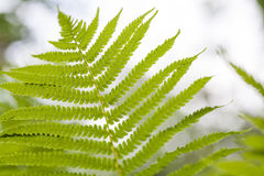Fern leaf closeup floral background Royalty Free Stock Images