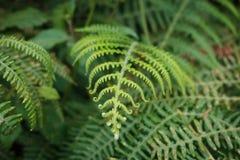 Fern leaf closeup, fern plant macro nature background - royalty free stock photography
