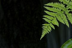 Fern leaf against dark background in Japanese Garden on Vancouver Island, Canada royalty free stock photos