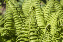 Fern leaf curly Royalty Free Stock Photography