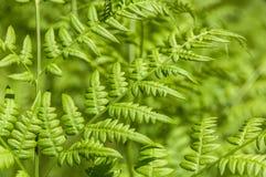 Fern leaf curly Stock Photo