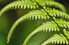 Fern leaf details, Costa Rica Stock Photography