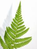 Fern leaf (  Dryopteris ) Stock Photos
