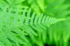 Fern Leaf Farn lässt Laub im Wald Lizenzfreie Stockfotos
