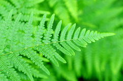 Fern leaf. Fern leaves foliage in the forest Royalty Free Stock Photos