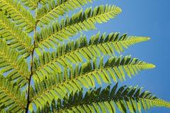 Fern leaf of fern tree Stock Photos