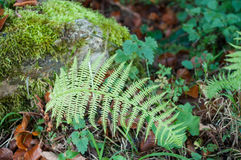 Fern leaf in a forest in autumn Royalty Free Stock Photos