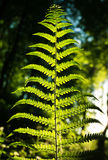 Fern leaf in forest on background of green woods in sunlight Royalty Free Stock Photos
