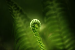 Fern leaf in the forest. Close-up royalty free stock photography