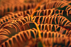 Fern leaf frond autumn fall brown macro Royalty Free Stock Photography