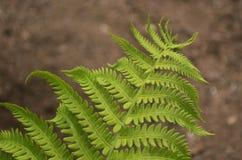 Fern Leaf Royalty Free Stock Photography
