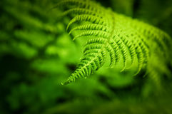 Fern leaf with green blurred bokeh background Stock Photos