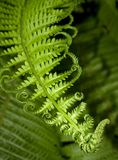 Fern leaf. Green fern branch with twirled leaves