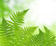 Fern leaf. On green natural background Stock Image