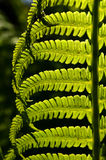 Fern leaf Royalty Free Stock Images