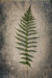Fern leaf on grunge background Royalty Free Stock Photography