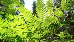 Fern Leaf in het Noorse Bos stock footage