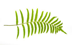 Fern leaf. Isolate from white background royalty free stock photo