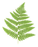 Fern Leaf isolated stock photography