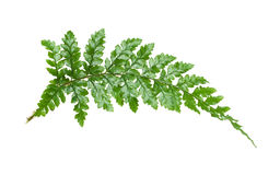 fern leaf isolated Stock Photo