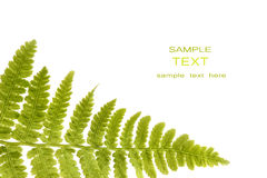Fern leaf isolated on a white Stock Images