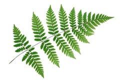 Fern leaf isolated on white background Stock Photos