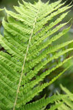 Fern leaf. Fern leaves in nature. Soft focus Stock Images