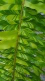 Fern Leaf listrado imagens de stock