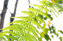 Fern leaf. Low angle view of Fern leaf Royalty Free Stock Photography