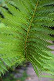 Fern Leaf med frö royaltyfri fotografi