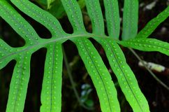 Fern leaf. A fern is a member of a group of vascular plants that reproduce via spores and have neither seeds nor flowers Royalty Free Stock Photo