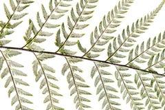 Fern leaf, Ornamental foliage, Fern isolated on white background. Fern leaf, Ornamental foliage isolated on white background stock illustration