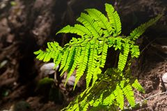 Fern leaf with perfect shard light shadow. Only see in high or top of mountain stock photography