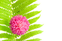 Fern leaf and pink daisy Stock Images