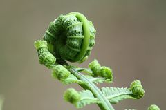 Fern, Leaf, Roll, Nature, Plant Royalty Free Stock Image