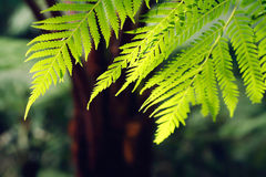 Fern leaf, selective focus Royalty Free Stock Photos